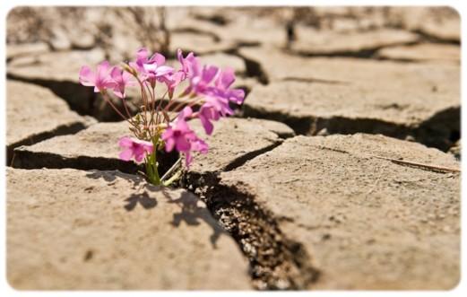 fleur désert